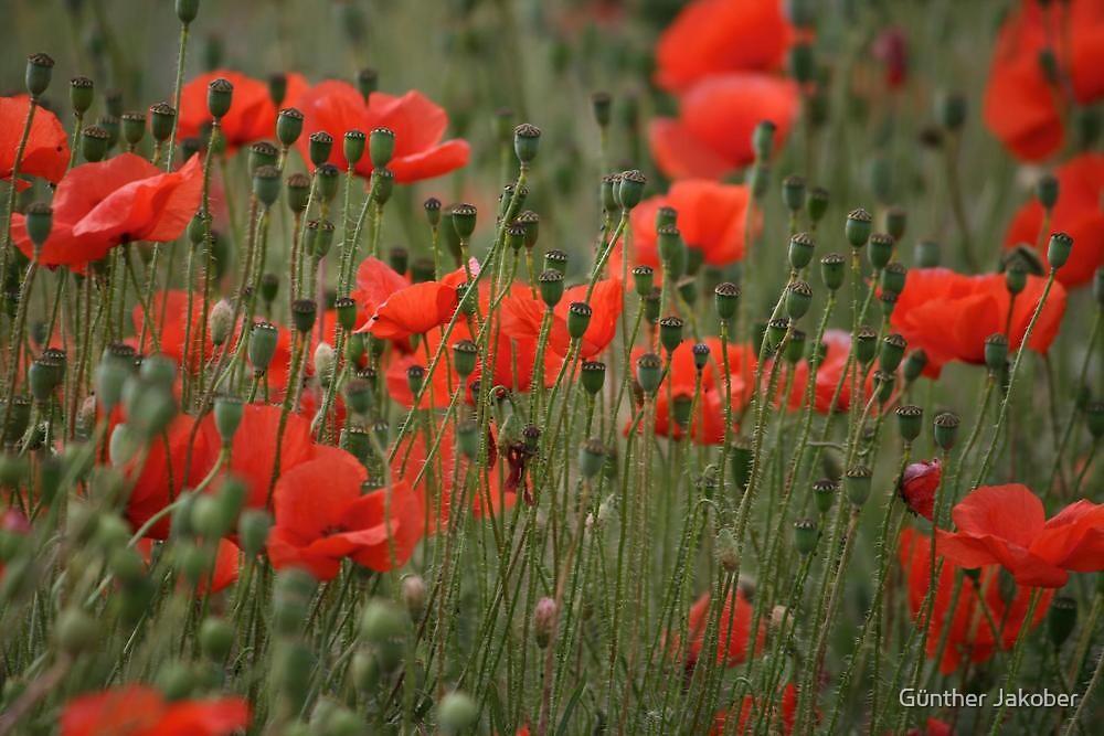 Poppies by Günther Jakober