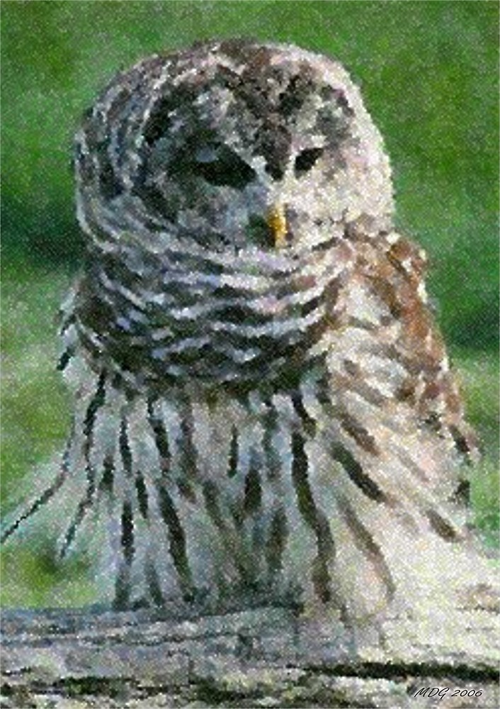 Barred Owl Print, Poster & Card by Oldetimemercan