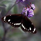 Hunter Valley Butterfly by Emma  Wertheim