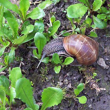Snail, Croatia by martina