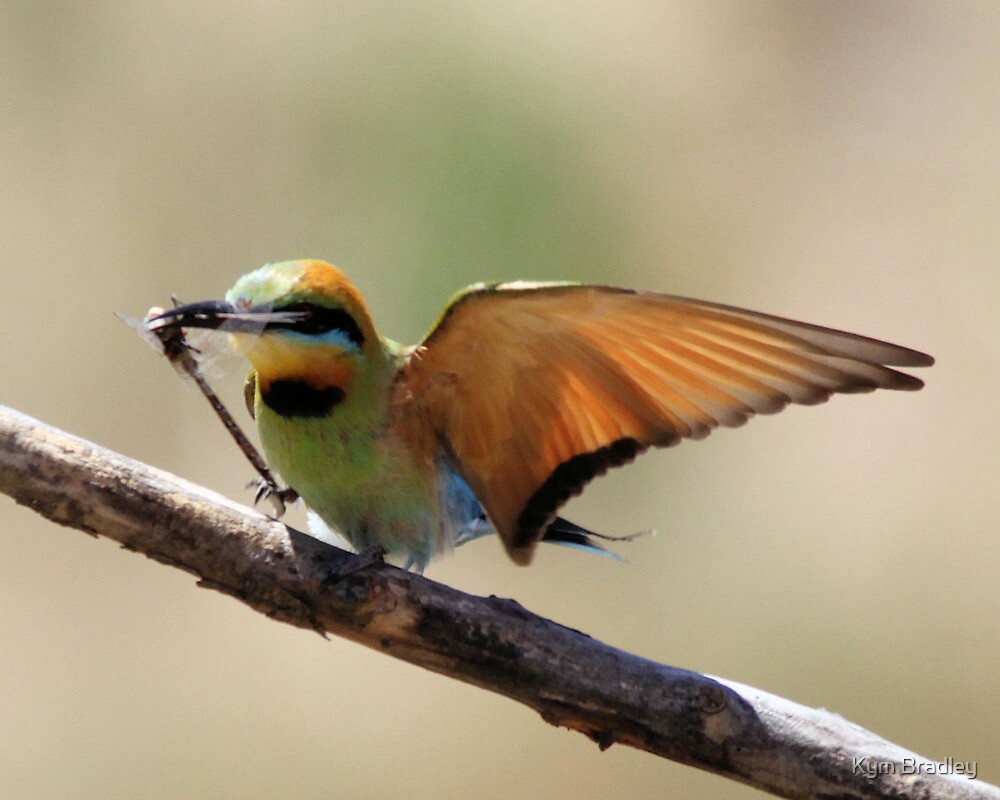 Rainbow Bee Eater Returns with Luch by Kym Bradley