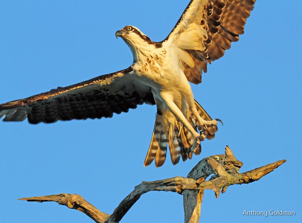 Anclote osprey in flight by Anthony Goldman