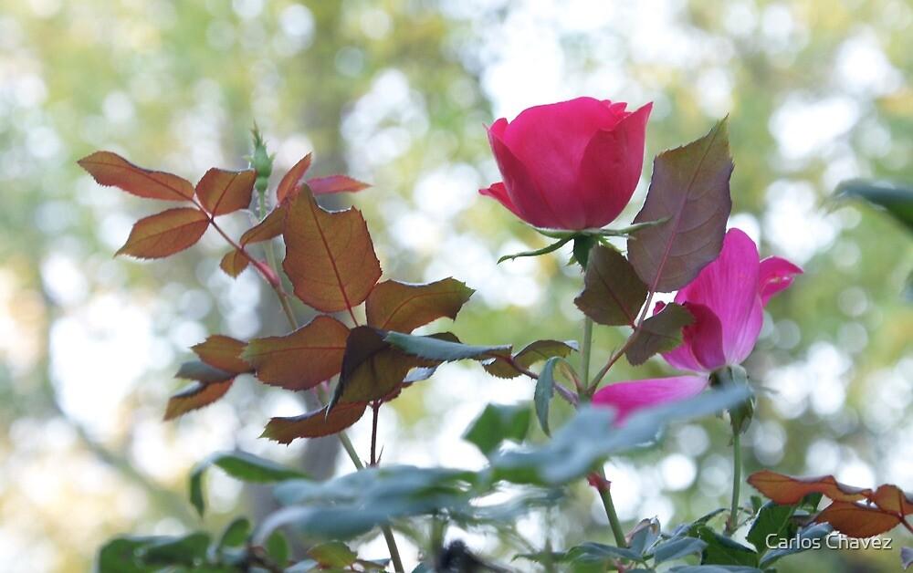 Creek Rose by Carlos Chavez