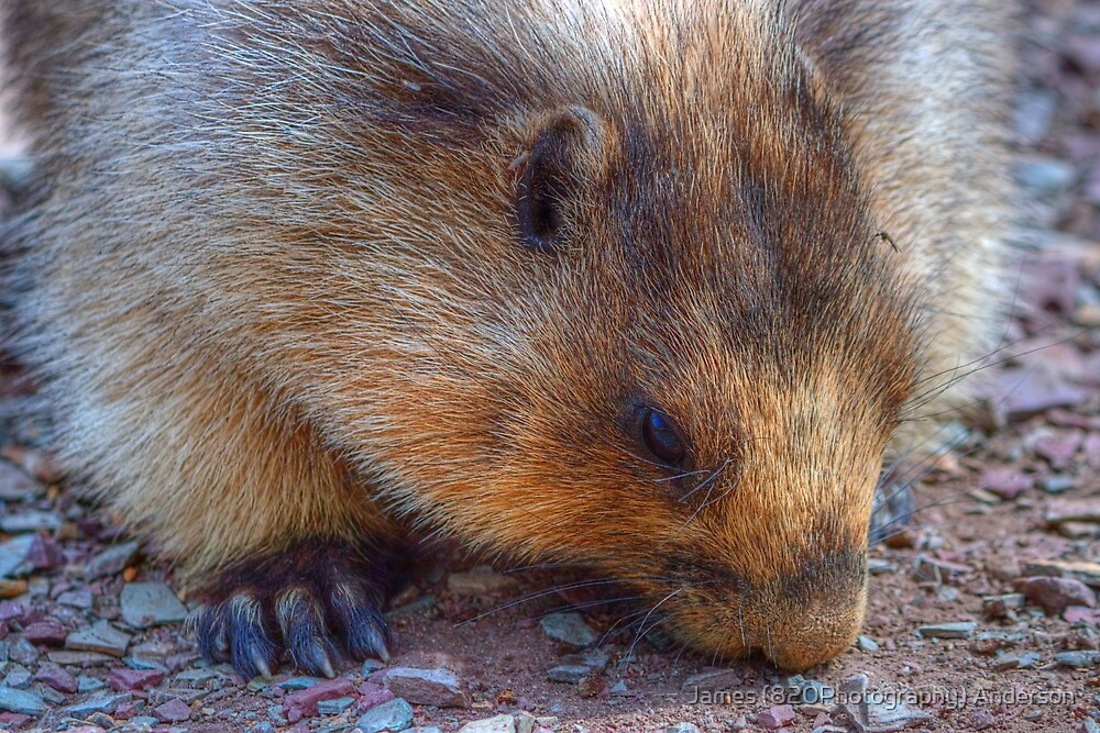 Marmot is big as a Bear by James Anderson