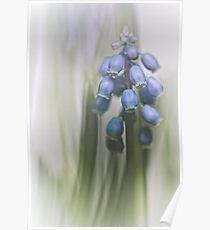 Grape Hyacinth VII Poster