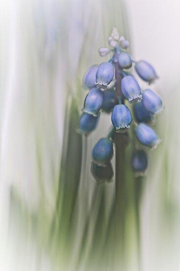 Grape Hyacinth VII by Bob Daalder