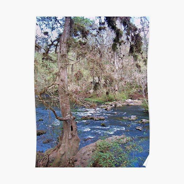 Hillsborourgh River State Park, River tree Poster