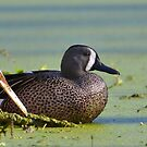 Blue Winged Teal by Kathy Baccari