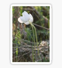 Windflower Sticker