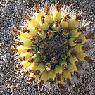 Barrel Cacti Cactus Top with Flowers by ToGalaxy