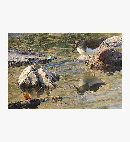 Spotted Sandpiper (Non-breeding Adult) Photographic Print