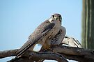 Prairie Falcon~ Eye Contact by Kimberly Chadwick