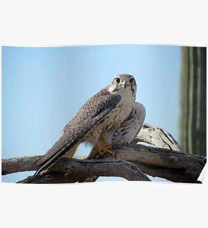 Prairie Falcon~ Eye Contact Poster