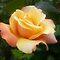 Voucher/Avatar - Rose - Gorgeous Flower Cards