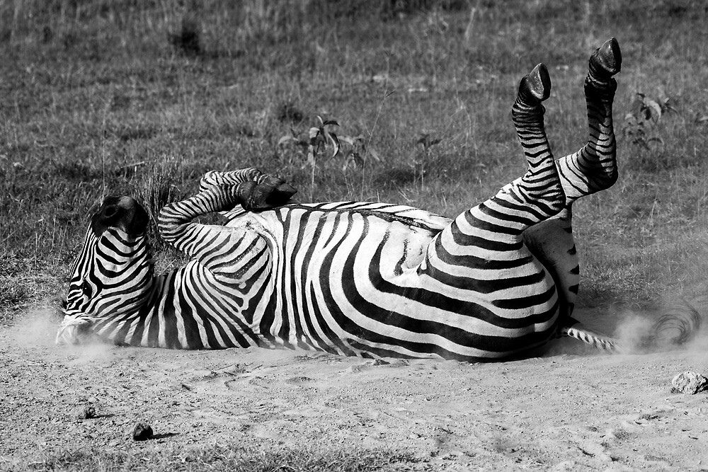 Rolling Zebra by lanceallot