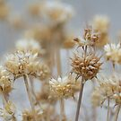 Desert Thistles by Sue  Cullumber