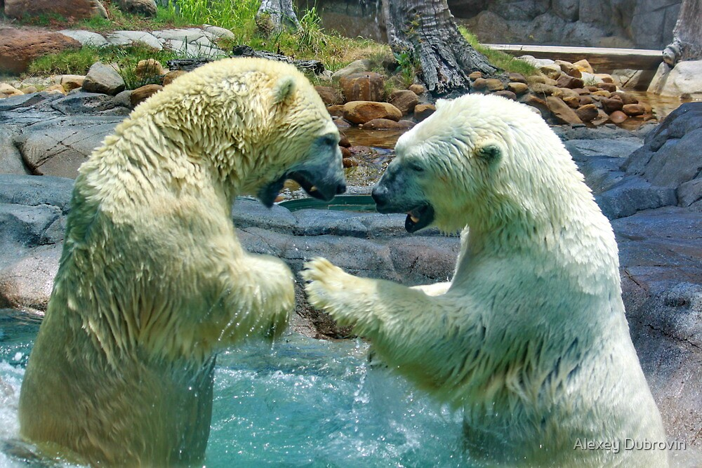 Polar bears wrestling - smash and dodge by Alexey Dubrovin