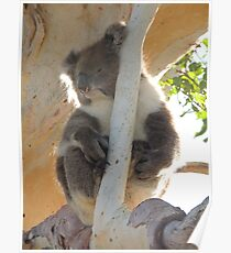 Koala (Phascolarctos cinereus) - Horsnell's Gully, South Australia Poster