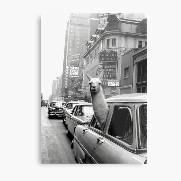 Llama Riding In Taxi Metal Print