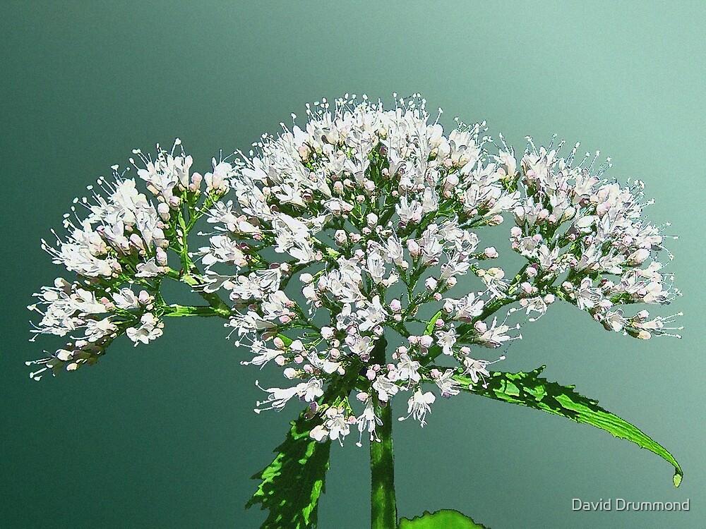 Elderflower by weegieschemie