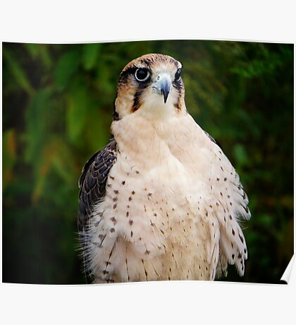 Lanner Falcon? Poster