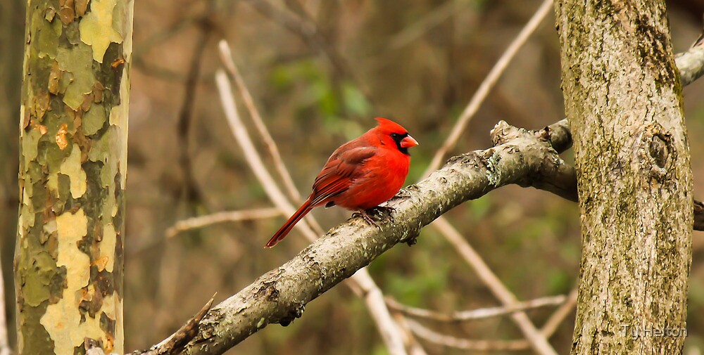 Northern Cardinal by Ty Helton