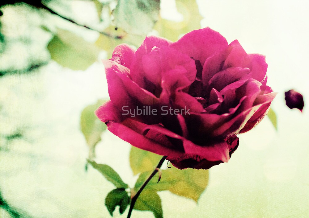 January Rose by Sybille Sterk