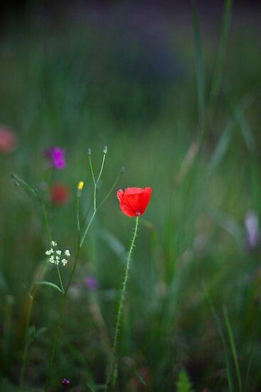 Wild Poppy by MorganaPhoto