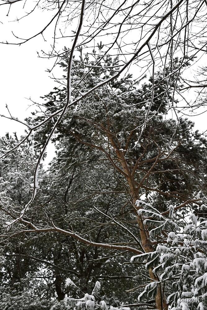 Pine Tree by tanzelt