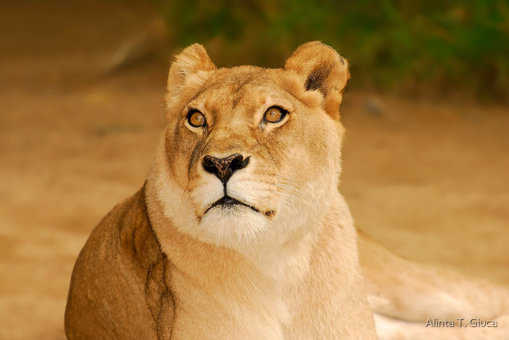 Lioness by Alinta T. Giuca