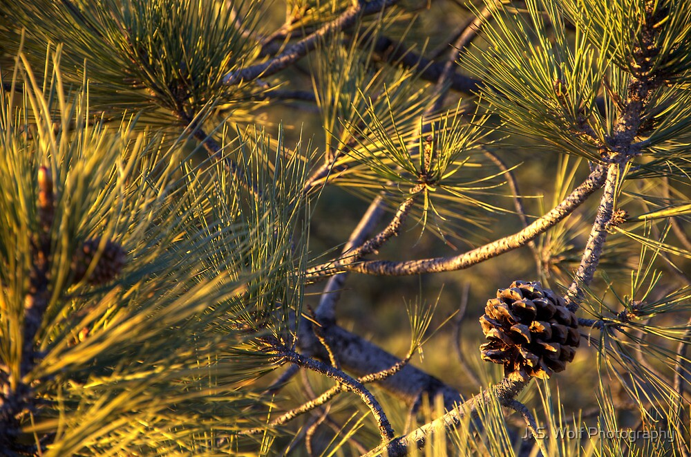 Pinecone by jswolfphoto