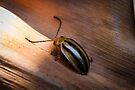 Kangaroo Vine Leaf Beetle - Oides fryi by Normf