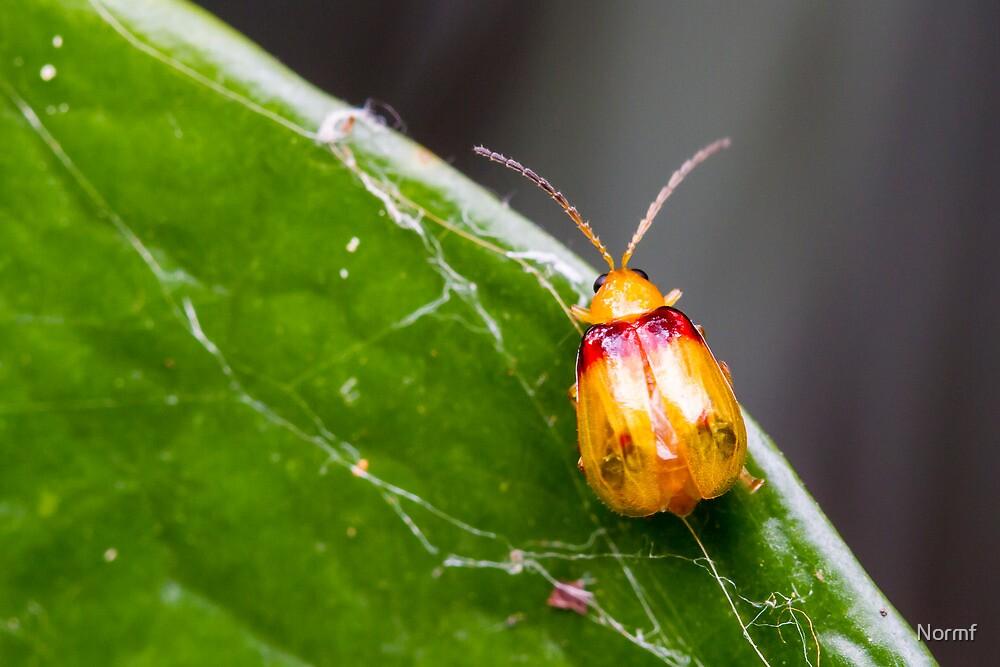 Red-shouldered Leaf Beetle - Monolepta australis by Normf