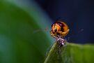 Red-shouldered Leaf Beetle - Monolepta australis (2) by Normf