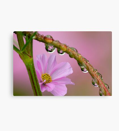 Cosmos in the rain Canvas Print