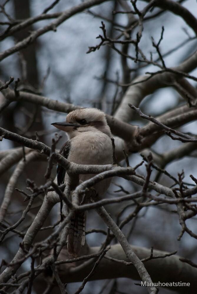 Kookaburra Winter by Manwhoeatstime