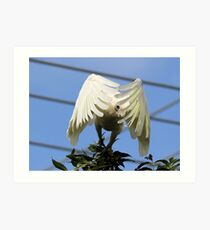 Peeky Boo  Short Billed Corella Art Print