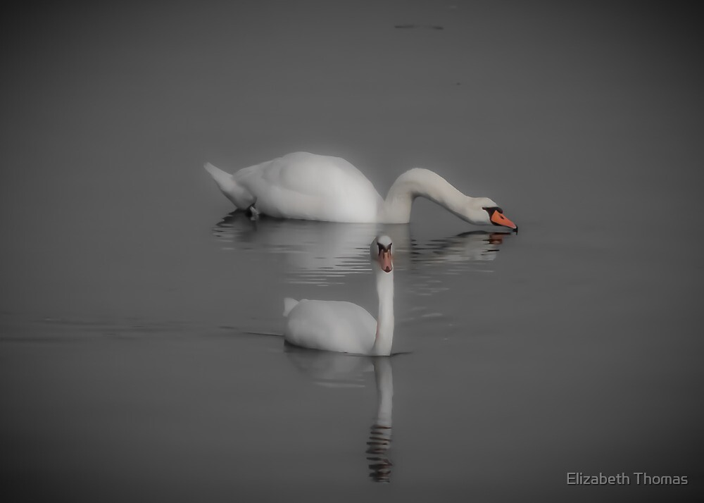 A Pair of Swans  by Elizabeth Thomas