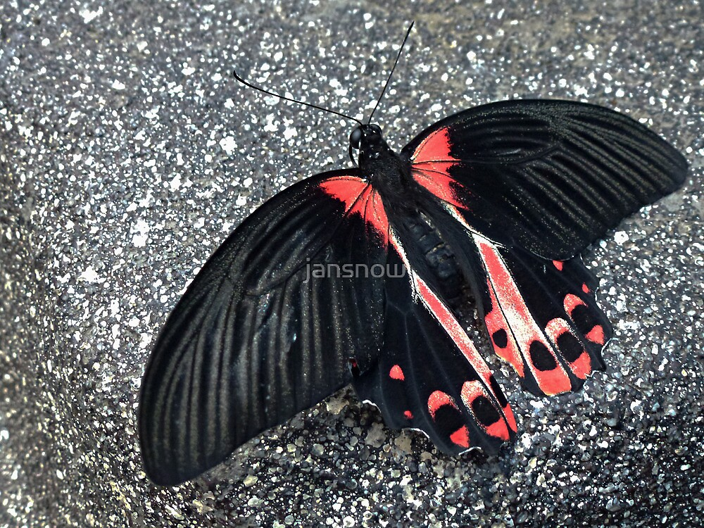 Crimson Mormon Butterfly © by jansnow