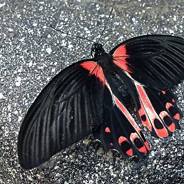 Crimson Mormon Butterfly © by jansnow