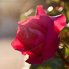 Afternoon Rose  by sandralee1989