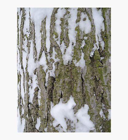 Snowy Bark Photographic Print