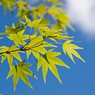 Maple Sky by sandralee1989