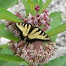 Door County Eastern Tiger Swallowtail by mussermd