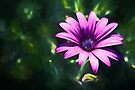 Pink Daisy  (GO) by Ray Warren
