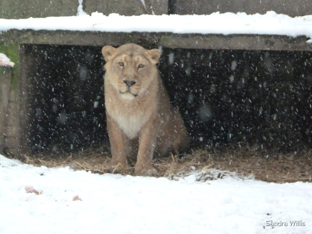 Lioness sheltering from the snow by Sandra Willis