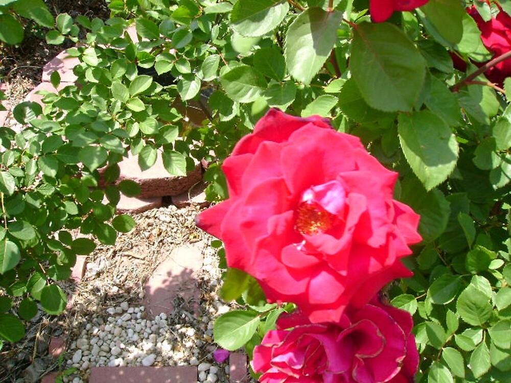 Rose by Valerie Howell