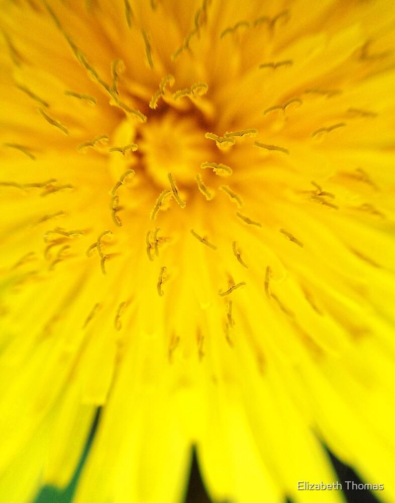 Macro Dandelion Bloom 3 by Elizabeth Thomas