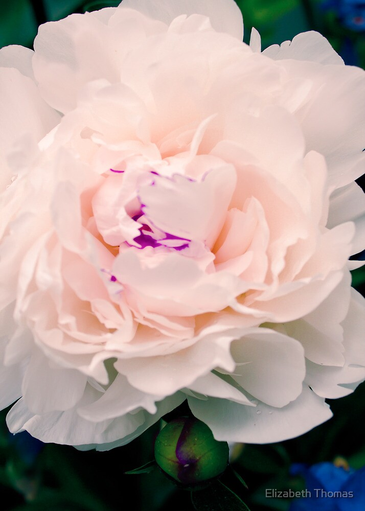 White Pink Peony Flower Bloom by Elizabeth Thomas