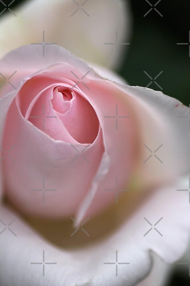 Dreamy Rose by Joy Watson